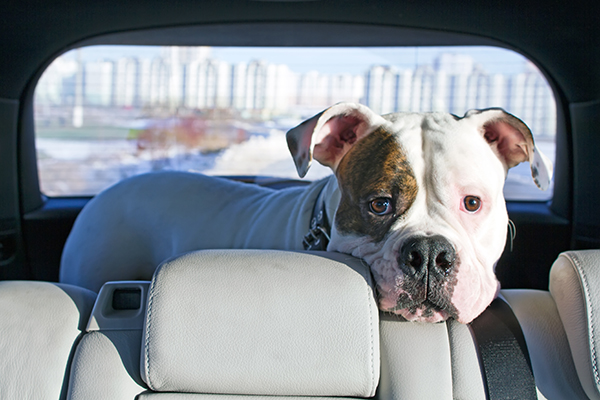 Bulldog looks at driver from the backseat